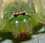 Vietnámi pók